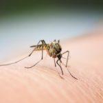 A cosa servono le zanzare? Aspetti positivi e negativi
