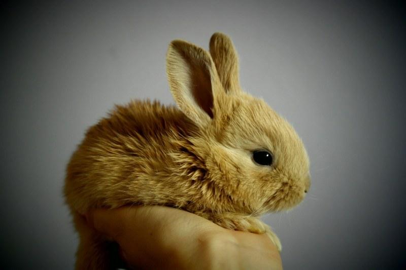È Obbligatorio Vaccinare I Conigli?